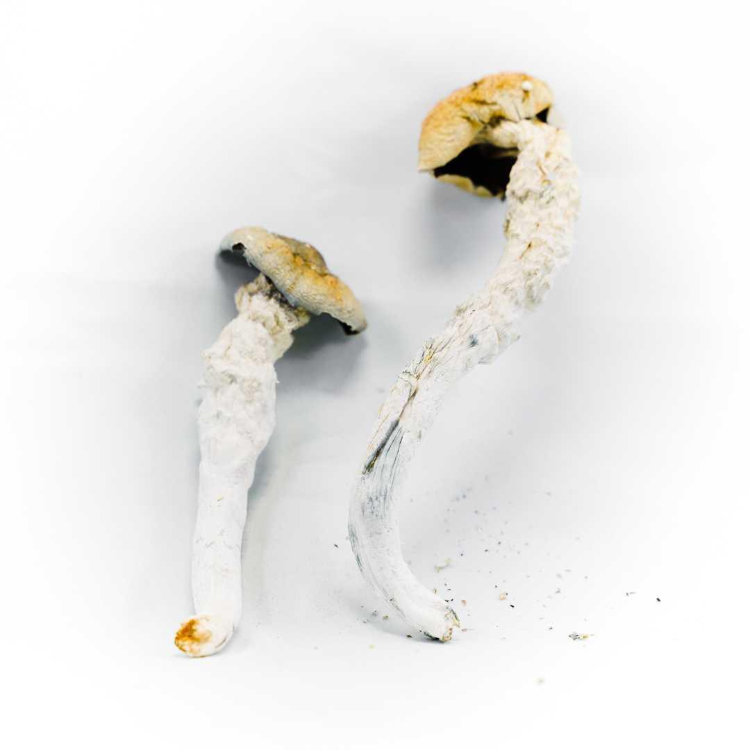 Penis Envy | Buy Psilocybin Magic Mushroom Online Canada